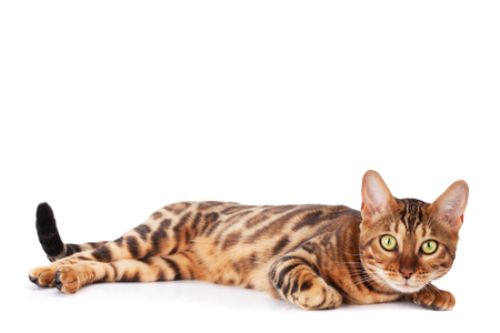 Bengal cat. Isolated on white background