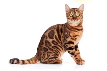 Gato de Bengala. Aislado sobre fondo blanco