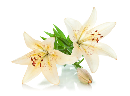 Two white lily and bud. Isolated on white background Standard-Bild