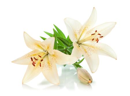 Zwei weiße Lilie und Knospe. Auf weißem Hintergrund isoliert Standard-Bild