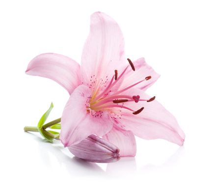 Pink lily. Isolated on white background
