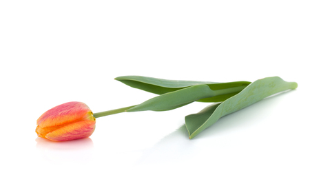 Lying orange tulip. Isolated on white background