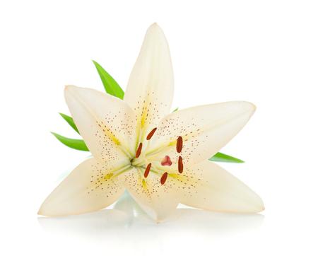 Lirio blanco con hojas verdes. Aislado sobre fondo blanco
