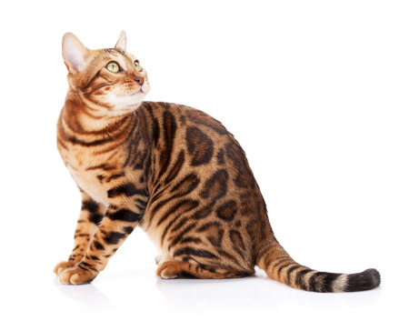 Bengal cat looking up. Isolated on white background