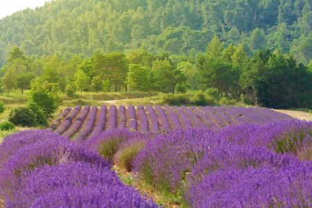 French blooming lavender field against green forest landscape