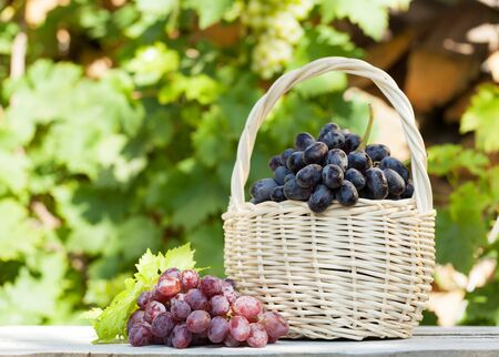 Colorful grapes in basket. Autumn vineyard harvest. With copy space Stockfoto