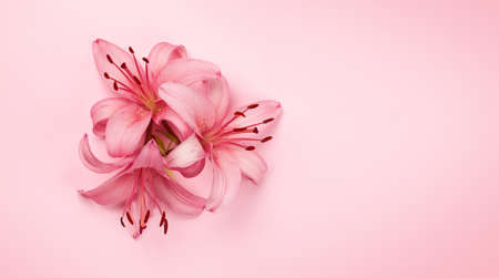 Pink lily flowers over pink background. Top view flat lay with copy space 写真素材
