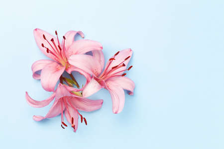 Pink lily flowers over blue background. Top view flat lay with copy space 写真素材