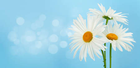 Chamomile flowers bouquet in front of blue background. Greeting card with copy space 写真素材
