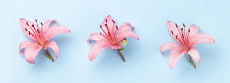 Pink lily flowers over blue background. Top view flat lay