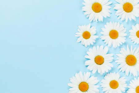Camomile flower greeting card backdrop over blue background. Flat lay with copy space