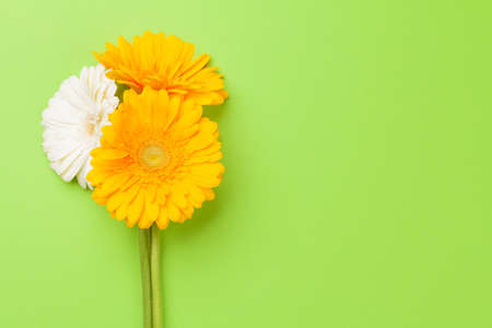 Colorful gerbera flowers over green background. Top view flat lay with copy space Standard-Bild