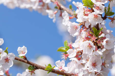 Cherry blossom spring tree in front of sunny blue sky with copy space. Summer background Standard-Bild