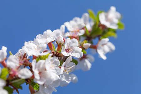 Cherry blossom spring tree in front of sunny blue sky Standard-Bild