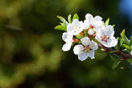 Cherry blossom spring tree. Summer background