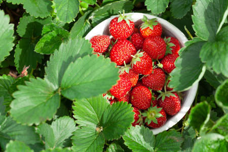 Strawberry bowl in strawberry garden bed. Outdoor sunny harvest concept. Top view flat lay Фото со стока