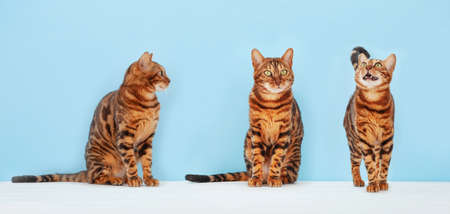Various bengal cats in front of blue wall Standard-Bild