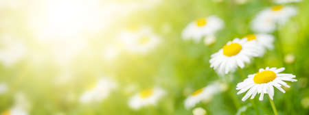 Spring chamomile flowers field. Sunny summer field with daisy blossom and bright bokeh and copy space Standard-Bild