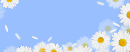 Daisy camomile flowers on blue background with copy space
