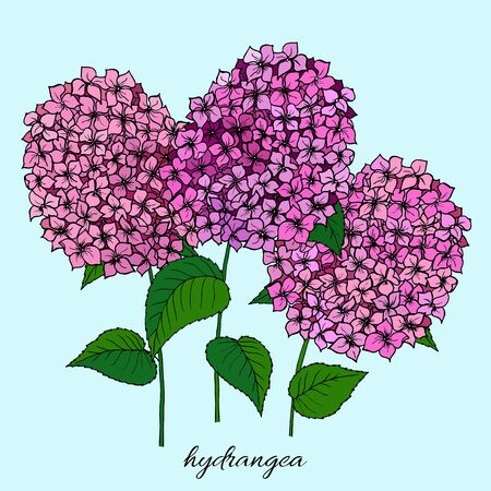 Botany flowers. Colorful illustration in the style of coloring. Branch hydrangea.