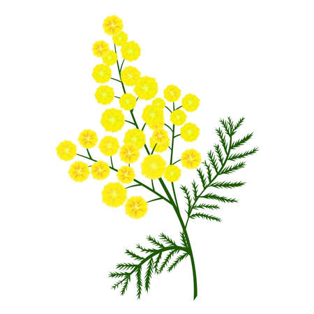 Yellow mimosa flower branch. Vector nature illustration. Print for greeting card, gift and congratulation.