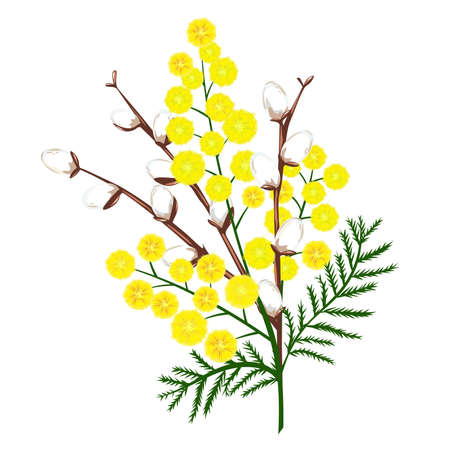 Yellow mimosa flower branch and white willow. Verba. Vector nature illustration. Print for greeting card, gift and congratulation.
