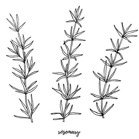 Vector set with rosemary. Editable set for packaging design with rosemary branches.