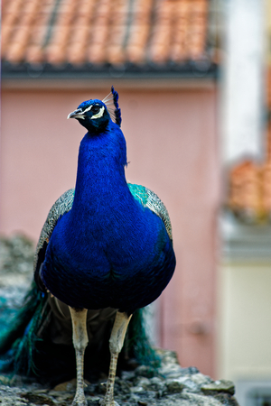 breen: Peacock from the front