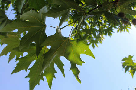 A beauty  of maple leaf in sunlight from Kashmir India