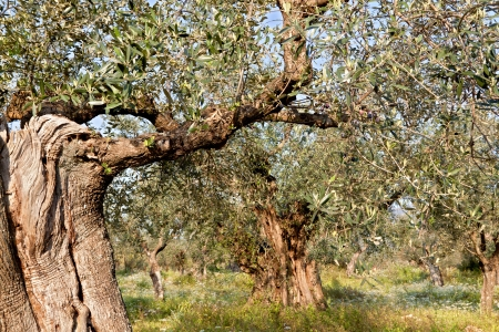 peloponnise: Olive tree valley at Messene in Greece