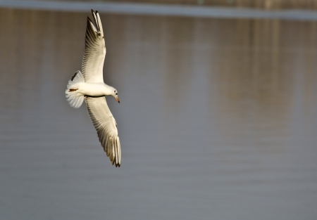 hydrobiology: Seagull flying over lake Kerkini in Greece Stock Photo