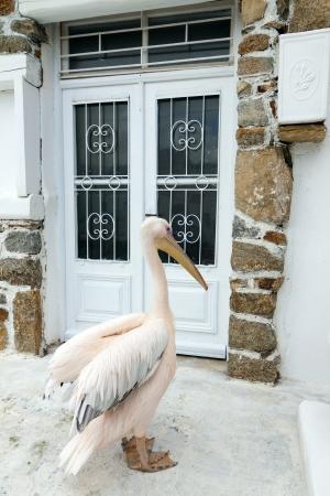 pelikan: The famous Pelican of Mykonos island in Greece