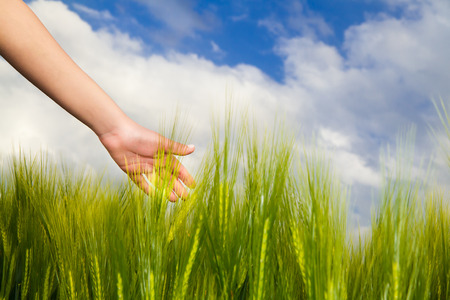 feed the poor: Wheat field