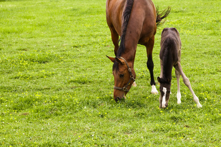 mare: mare and her young foal grazing on a meadow Stock Photo