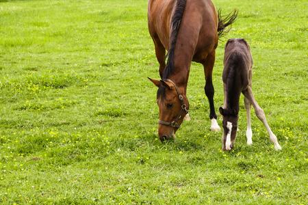 yegua: yegua y su potro joven pastando en un prado