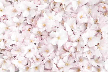 Kirschblüte Hintergrund Standard-Bild - 74989426