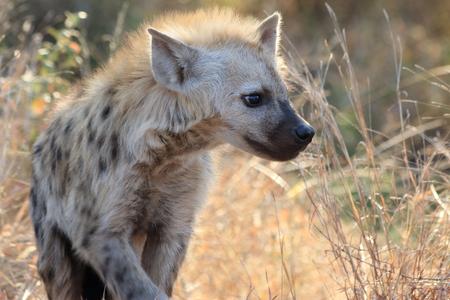 hyena: Hyena