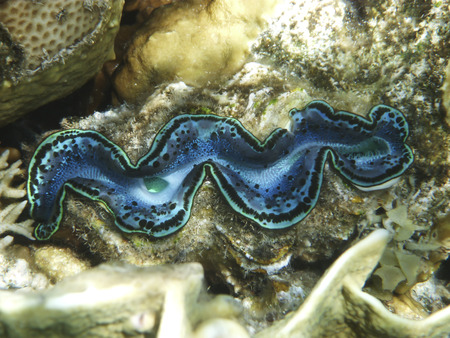 bivalve: Underwater photography of the single giant clam blue bivalve mollusc on the coral reef in underwater world of red sea in Egypt