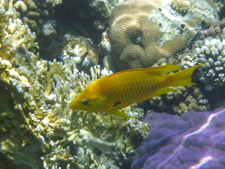 sea world: Underwater photography of the single small yellow fish  and the coral reef in underwater world of red sea in Egypt