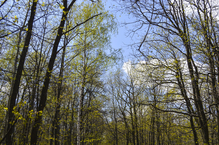 silver maple: Single silver birch in the maple forest in spring with young light green leaves, and the blue sky with white cumulus clouds