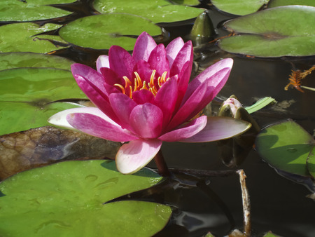 nenuphar: Close-up single pink water-lily in the water in a pond