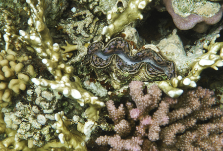 underwater world: Underwater photography of the single giant clam bivalve mollusc on the coral reef in underwater world of red sea in Egypt Stock Photo