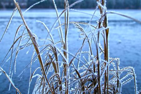 canne: Inverno sulle canne lacustri brina