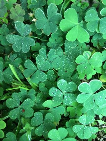 cloverleaf: Leaf clovers green background