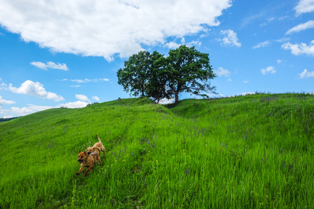 two brown dogs running on wheel tracks in green meadow and hill top with two old oak trees and a lonely tombstone and blue sky white clouds in the spring