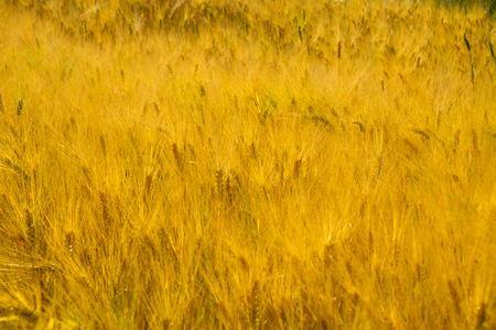 golden stye or wheat field, growing spikes ready for harvest