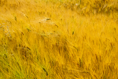 golden stye or wheat field - growing spikes ready for harvest Stock Photo