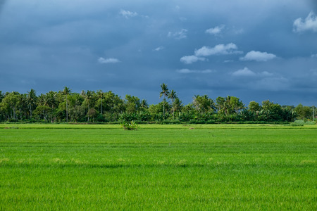 green rice field with palm trees in background and cloudy sky in Java island, Indonesia