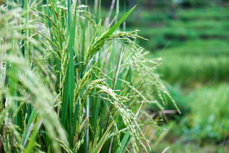 detail of green ripe rice before harvest, close up