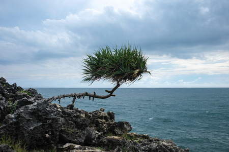 wild and raw survival against the elements lonely pandanus tree on rock at the indian ocean